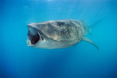 whale sharks eat lots  algae   fast  months