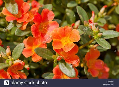 portulak pflanzen kaufen portulak zu pflanzen blumen portulaca oleracea aka