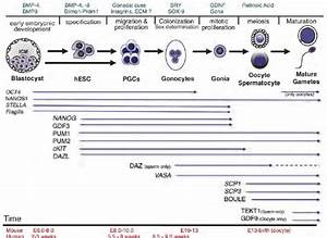 Timeline Of Germline Specification And Germ Cell Marker Expression  A