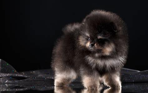 wallpapers pomeranian fluffy puppy dog black