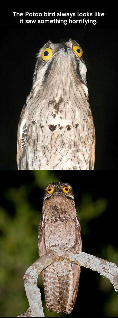 Potoo Bird Meme - potoo bird meme memes