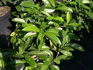 Kirschlorbeer Braune Blätter : kirschlorbeer ~ Lizthompson.info Haus und Dekorationen