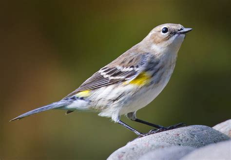 washington state bird facts the american goldfinch and more san juan island birds
