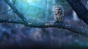 Owl, Wallpapers