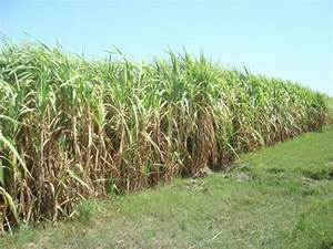 Panoramio - Photo of Sugar Cane Crop