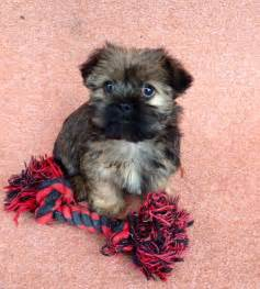 Shih Tzu Yorkie Mix Puppies Sale