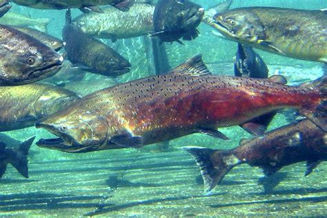 data listening offers     track salmon