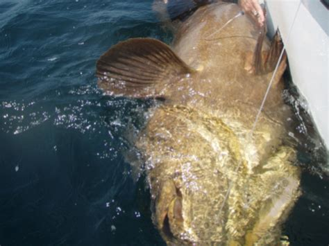 grouper goliath florida hook caught line weighs hunt fish boat brought