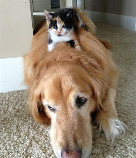 29 Cute Cats Who Use Dogs As Pillows