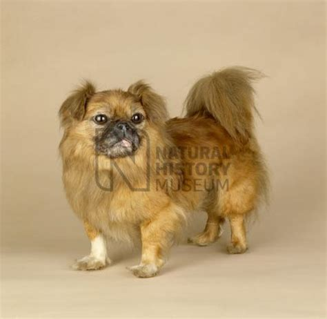 pekingese pug mix breed dog breeds picture