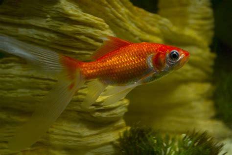 awesome types  goldfish  pictures goldfish
