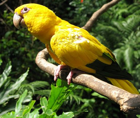 golden conure japan golden conure parrot free wallpapers