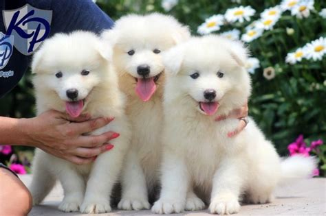 Simoid Dogs Theo Samoyed Puppy For Sale In Pa