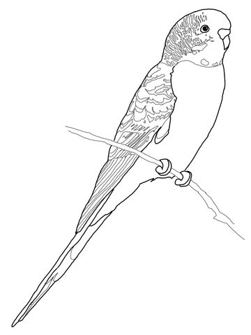 budgerigar parrot coloring page  printable coloring