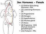 Sexual hormones of women