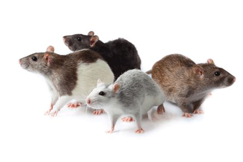 Why Are People More Scared of Rats Compared to Mice?