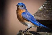 Feather Tailed Stories: Eastern Bluebird