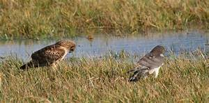 A male and female Northern Harrier interact | BirdNote