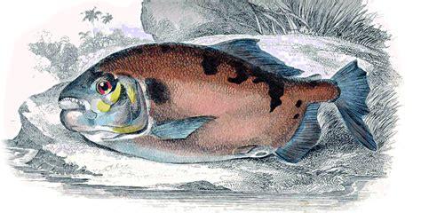 pacu fish myleus types characteristics traits habitats serious injury illustration habitat