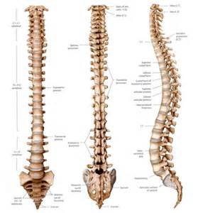 Human Spine Diagram Bones Vertebrae