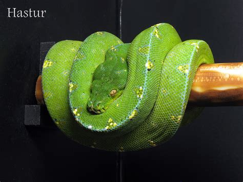 green tree python collection  viridispythoncom