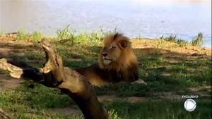 Le U00f5es Selvagens Provam Sua Soberania Entre Animais Na