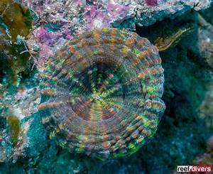 Quick Guide To Large Polyp Caribbean Corals
