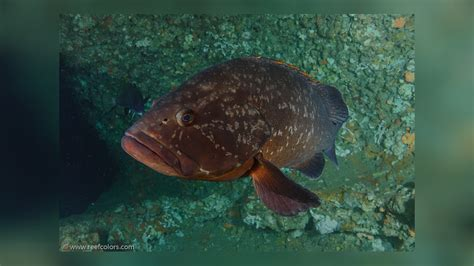 yellowbelly rockcod marginatus epinephelus dusky grouper mittelmeer spanien sander wolfram copyright