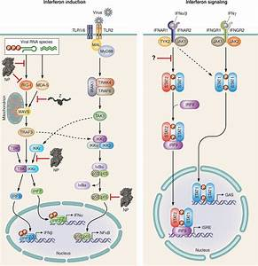 Inhibition Of Innate Immunity By Arenavirus Np And Z   A