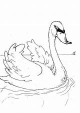Coloring Swan Print Poultry Animals Books Pages Swans sketch template