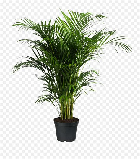 howea forsteriana ravenea areca palm houseplant potted
