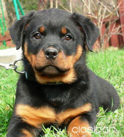 perro rottweiler cachorro  clasiparcom en paraguay
