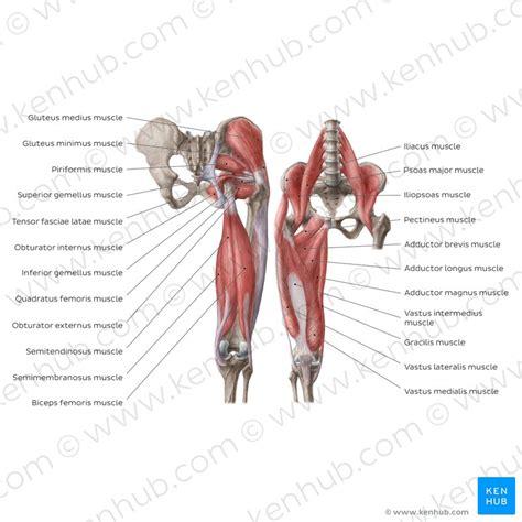 hip  thigh bones joints muscles kenhub