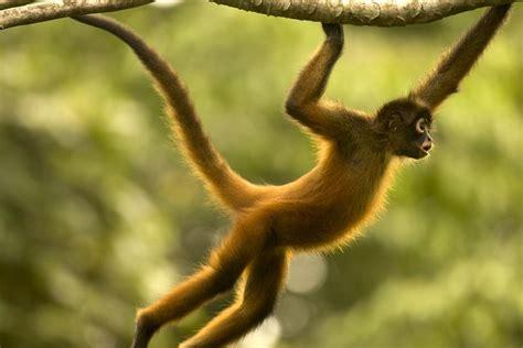 Spider Monkey Life Cycle | Mungfali