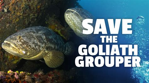 grouper goliath endangered critically fwc florida wildlife fish fishing conservation protect change commission