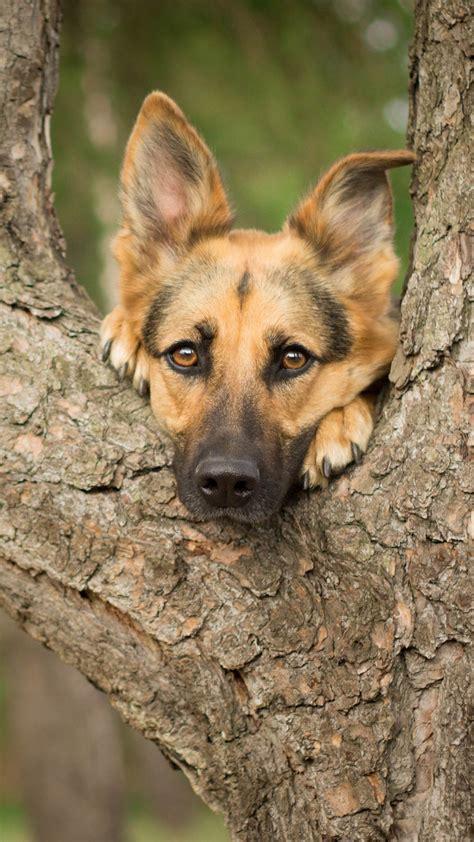 German Shepherd Dogs Wallpapers - Wallpaper Cave