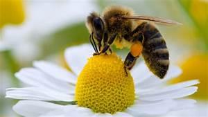Bienen Und Wespen : unverzichtbar f r nahrungsversorgung best uber r ckgang ist weltweites problem n ~ Whattoseeinmadrid.com Haus und Dekorationen