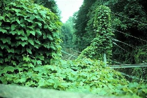 kudzu unfurling  fast growing vines  lancaster