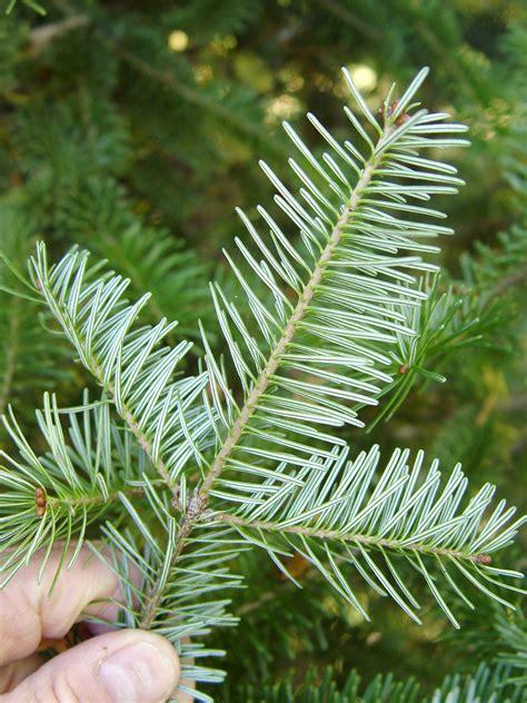 the perfect christmas tree garden housecalls