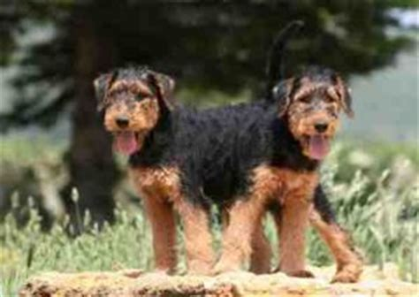 do airedale puppies shed a review of the best 70 hypoallergenic dogs that don t