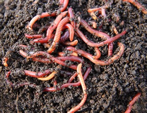 worms for garden worm composting taking advantage of earthworm benefits