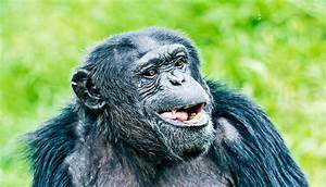 Could Apes Ever Learn To Speak Like People