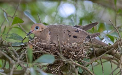 image gallery mourning dove nest