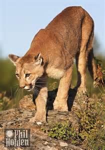 Male Mountain Lion Cougar Puma
