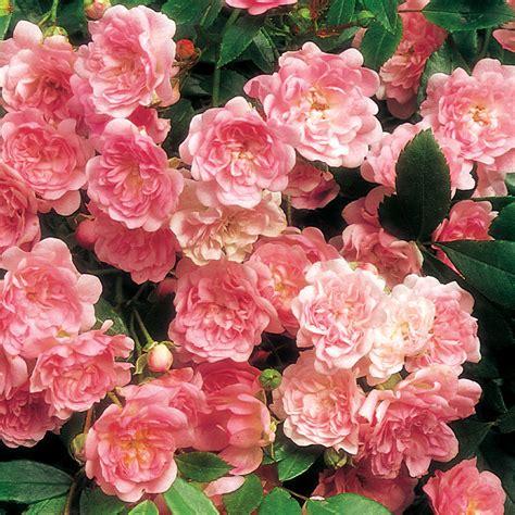 shrub roses the fairy shrub rose at jackson perkins