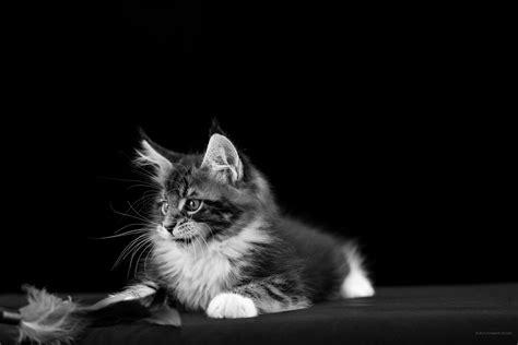 bureau ecran noir 2736 x 1824 noir et blanc fonds d 39 écran gratuits chats