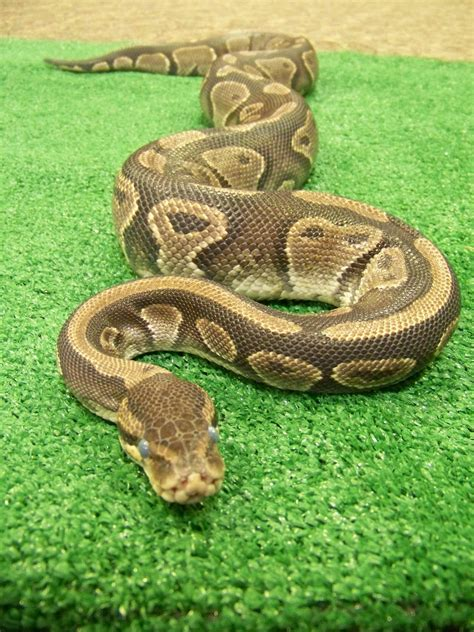 snakes as pets world bird sanctuary pet snakes pros and cons