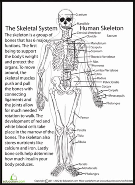 human skeletal system homeschool science