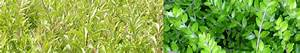 Niedrig Wachsende Hecke : bodendeckerpflanzen online kaufen niedrige ~ Lizthompson.info Haus und Dekorationen