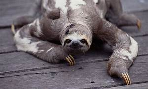 Sloths Conserve Energy